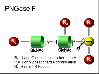 肽-N-糖苷酶F PNGase F (E-PNG01)