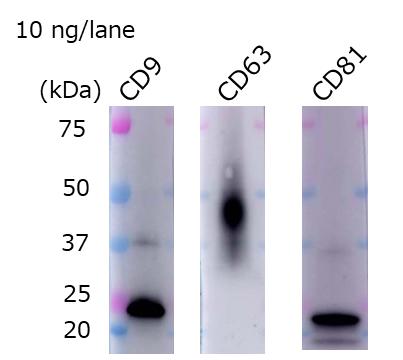 外泌体,COLO201细胞来源,已纯化