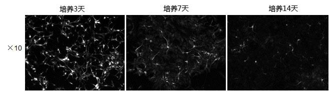神经细胞培养基